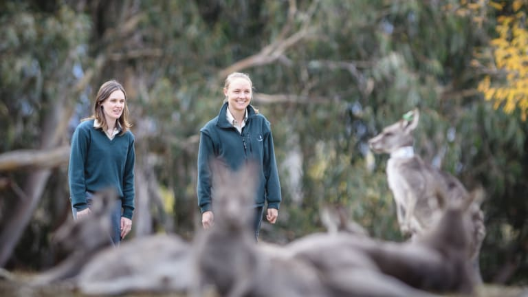 ACT government ecologists Claire Wimpenny and Melissa Snape with some of the kangaroos in Yarralumla that have been the subject of fertility control studies.