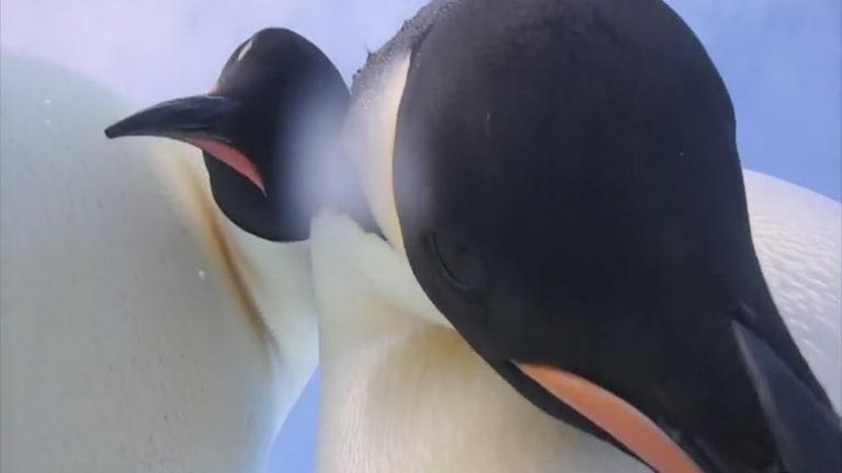 While the video at first captures a handful of penguins from a low vantage point, one bird waddles over to the camera and kicks the screen to focus on its face.