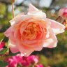 Garden where rose passion keeps blooming