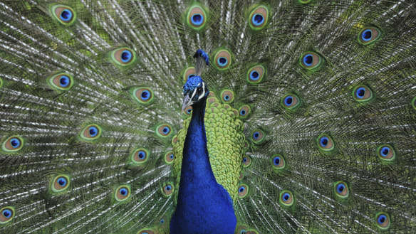 Why are there peacocks roaming the streets of Canberra?