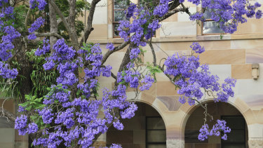 Jacaranda blooms make a striking display against sandstone at the University of Queensland's St Lucia campus.