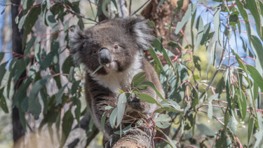 Koalas are under unprecedented stress after bushfires and ongoing land clearing.