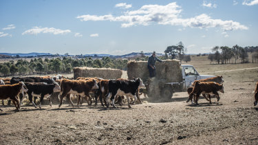 Cattle following the truck with hay