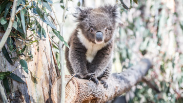 Australia has a poor record on protecting threatened species, including the iconic koala.