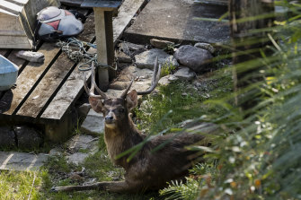 A deer spotted on October 22 in the mangrove swamps of the Port Hacking estuary at Grays Point.