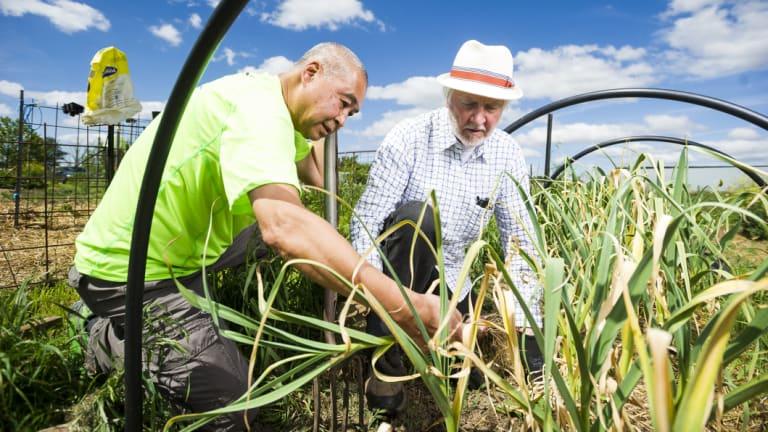 Bob Hefner and Song Chen harvesting garlic at Pialligo Garden Lots.