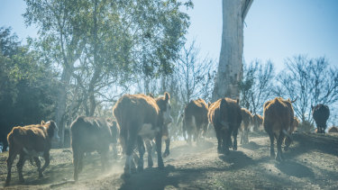 Cattle on Mark and Sonia Horan's farm in Braidwood. They have water in only three of their 23 dams.