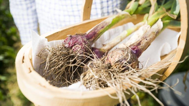 Bob Hefner showing off his garlic harvest.