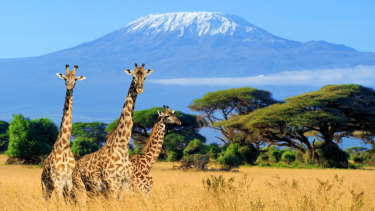 Three giraffe in front of Mount Kilimanjaro.