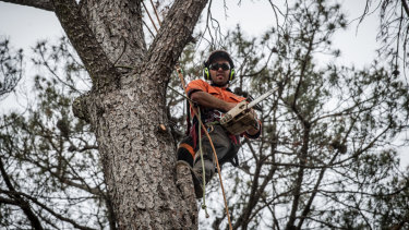 Connor Walker, a trainee arborist, is working on removing dead pines from the Yarralumla Dog Park.