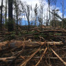 Logging operatoins in burnt forests on the state's South Coast this week.