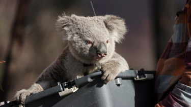 A koala is released back into bushland at the Two Thumbs Wildlife Trust's koala sanctuary near Cooma, NSW.