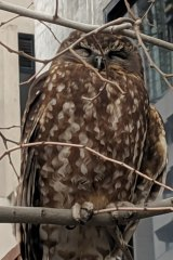 The Bookbook owl sat exposed in a bare-leafed tree.