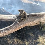 A koala and its joey rescued from bushfires around the Gold Coast in September.