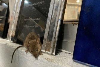 A mouse at Wellington Correctional Centre.