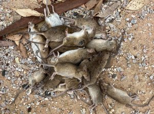 Areas like Coonamble are being overrun with mice. Here, one mouse bait has captured multiple mice.