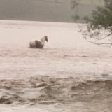 Justin Orr's horse could only stand as it waited for the flood conditions to subside.