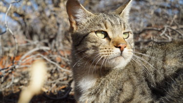 Feral cats have proved difficult to control and have been devastating to native mammals.