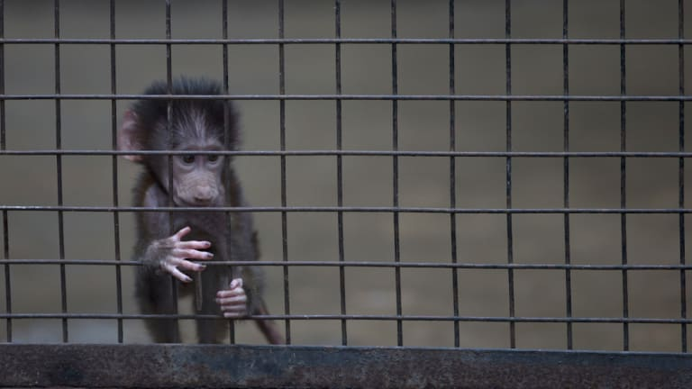 A baby monkey stands inside a cage at the former Buenos Aires Zoo in 2016. The city government announced a week earlier it would transform the zoo into an ecological park for a limited number of species.