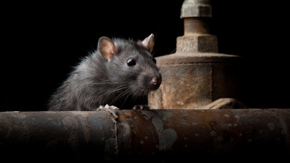 And now, rats: US disease control centre issues aggressive rodent warning