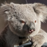 Koalas' bushfire recovery diets provide hope