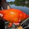 People dumped their pets into lakes. Now football-sized goldfish are taking over