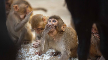 Monkeys eat puffed rice near a Hindu temple during nationwide lockdown in Gauhati, India. A troop of monkeys in another state stole infected blood samples from a lab worker.