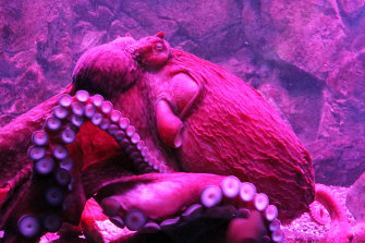 """Octopuses change colour and twitch their limbs during """"active sleep'."""