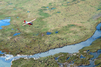 An airplane flies over caribou from the Porcupine caribou herd on the coastal plain of the Arctic National Wildlife Refuge in north-east Alaska.