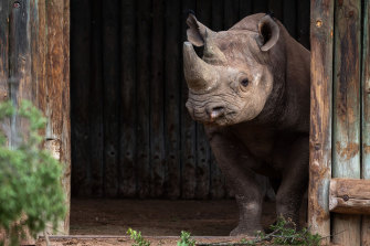 At least one rhino is killed by poachers in South Africa every day.
