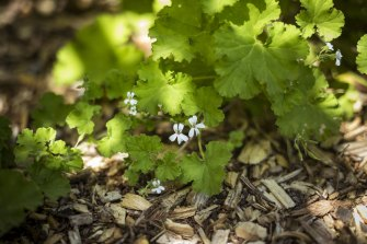 The guava-scented pelargonium is one of the fragrant offerings planted beside paths.