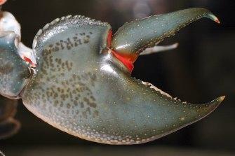 The swamp yabby claw.