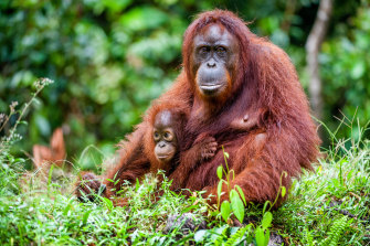 An orangutan with a cub in Borneo, one of its few remaining natural habitats.