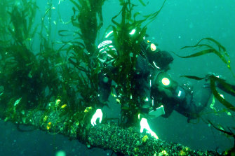 One of the last patches of giant kelp in Fortescue Bay on the east coast of Tasmania. Giant kelp is one of the fastest growing organisms on the planet, giving it unique potential to rapidly take up carbon during photosynthesis.