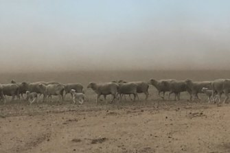 Sheeps don't have enough feed in the current drought situation. With the high grain prices, it's becoming difficult for farmers to get an adequate supply without loosing too much.