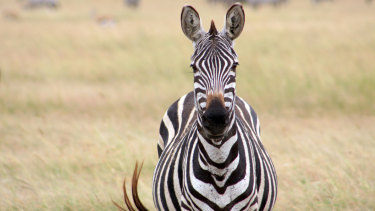 No bites here: zebras have been found to have superior fly-avoidance mechanisms.