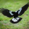 'Tragic accident': Baby dies in hospital after mother falls while swooped by magpie in Brisbane