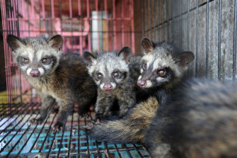 Civet cats for sale at a market in Bali.
