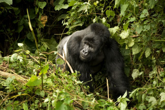 Virunga National Park is home to more than half the global population of mountain gorillas.