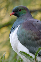 The kereru, a colourful wood pigeon, has been knocked off its perch after winning the competition in 2018.