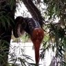 'Disgustingly scary, but amazing': Brisbane residents get front-row seat as snake devours possum