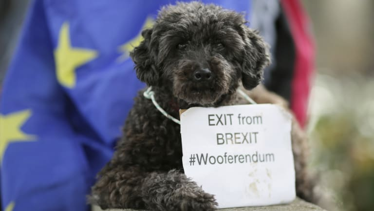 Lily the poodle sits in Parliament Square after marching in a 'Wooferendum' to demand a People's Vote on Brexit, in London on Sunday.