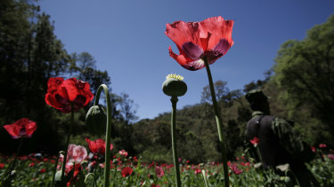 A soldier stands on a poppy field during eradication supervised by the Mexican Army on the outskirts of Morelia, Mexico.