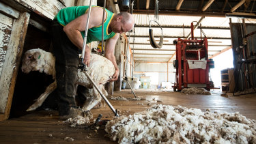 An acute shortage of shearers is spurring animals welfare concerns as wool producers struggle to find workers.