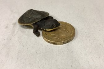 The new hatchlings are roughly the size of a one dollar coin.