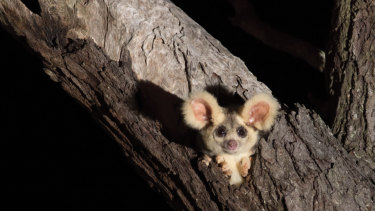 The greater glider, which is a threatened species that lives in Victorian old growth forests.