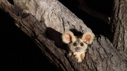 Government fails to produce plan for threatened greater glider