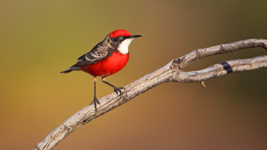 Crimson chats, usually only seen in arid areas, are flocking to Victoria