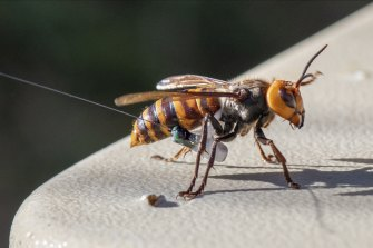 An Asian Giant Hornet wearing a tracking device in Washington state.