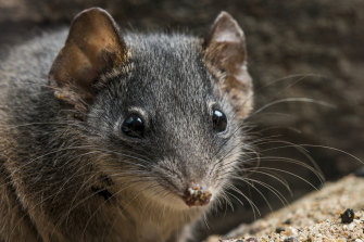Live fast, die young: The antechinus has a short lifespan, with males lasting only a year.